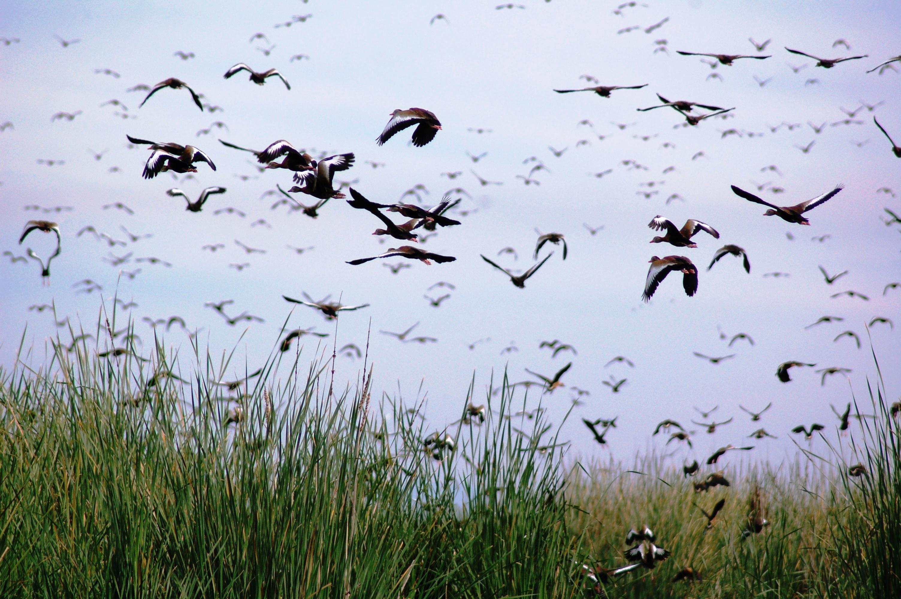 Pichiguila Ducks