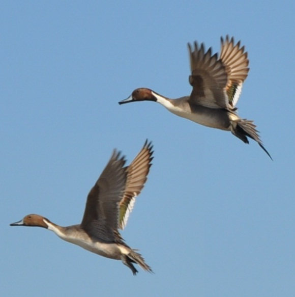 Pintail Male and Female in Flight